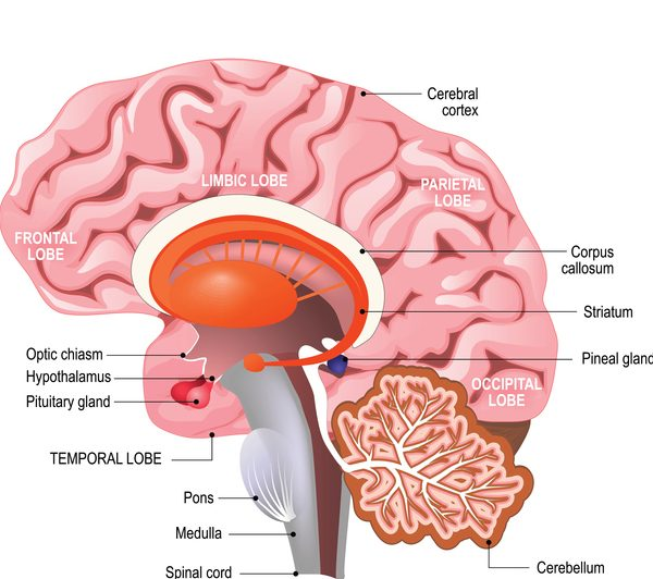 Detailed Anatomy Of The Human Brain Parents Accused